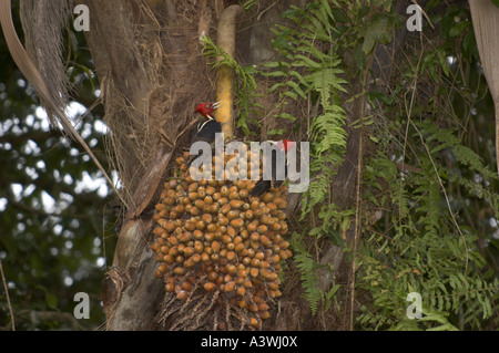Pale-billed Woodpeckers (Campephilius guatemalensis) on Palm Fruit - Stock Photo
