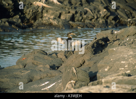 Galápagos Flightless Cormorant (Phalacrocorax harrisi) drying wings - Stock Photo