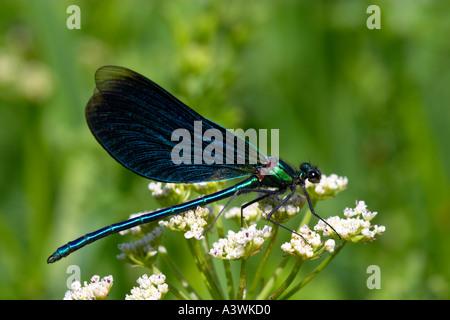 Beautiful Demoiselle ,Calopteryx virgo - Stock Photo