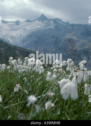 Alpine cotton grass (Tricophorum alpinium); Zillertal Alps, Austria. - Stock Photo