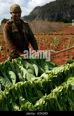 A tobacco farmer hangs leaves out to dry at a farm in the Vinales valley, Pinar del Rio province, Cuba, West Indies. - Stock Photo