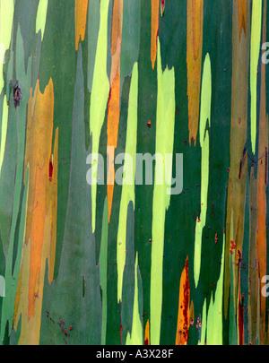 V00332M tif Close up of Painted Eucalyptus bark Maui Hawaii - Stock Photo