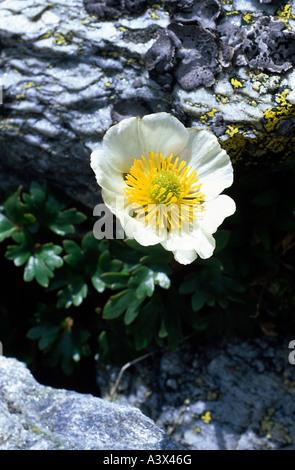 botany, crowfoot, (Ranunculus), Glacier crowfoot, (Ranunculus glacialis), on rock, Ranunculaceae, Magnoliidae, Ranunculales, - Stock Photo