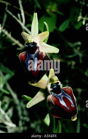 botany, Ophrys, Early Spider Orchid, (Ophrys mammosa), blossoms, orchids, Orchidaceae, Breasted Orchid, Inflated - Stock Photo