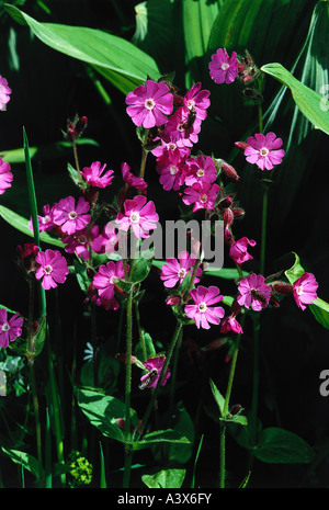 botany, Silene, (Melandrium), Red campion, (Melandrium rubrum), blossoms, Silena dioica, Melandrium rubrum, silvestre, - Stock Photo