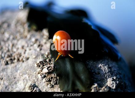 ireland, county kerry, dingle peninsula, camp, sea snail crawls across a seashore rock on irish atlantic coast - Stock Photo
