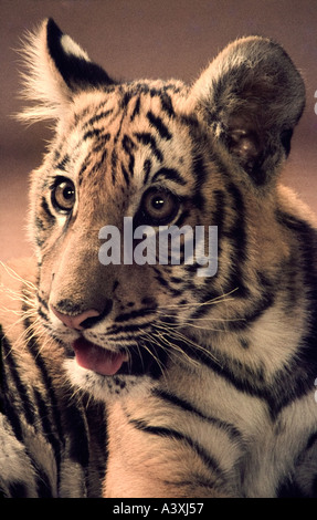 five month old tiger cub in studio - Stock Photo