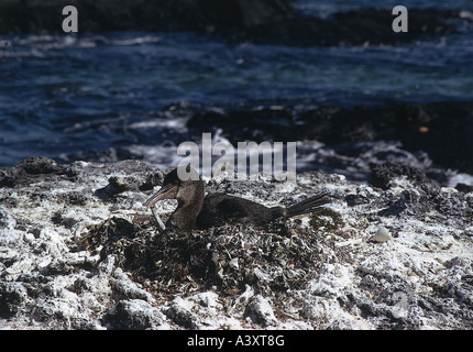 zoology / animals, avian / birds, Flightless Cormorant, (Phalacrocorax harrisi), breeding in nest, distribution: - Stock Photo