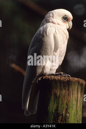zoology / animals, avian / bird, Little Corella, (Cacatua sanguinea), sitting on tree trunk, distribution: Australia, - Stock Photo