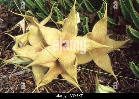 Stapelia (Stapelia spec.), flowers, Palmetum - Stock Photo