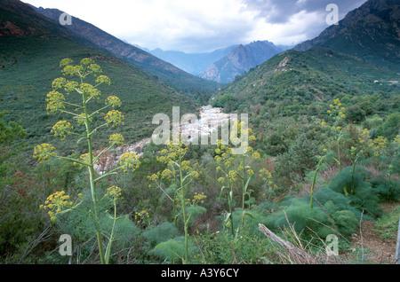 Ferula (Ferula communis), flowering in valley of Fango, France, Corsica, Cinto-Bergland - Stock Photo