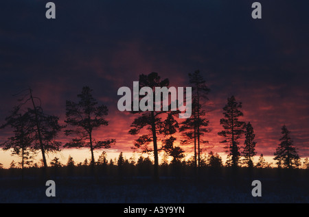 pines in the midday light, Sweden, Lapland, Muddus NP - Stock Photo