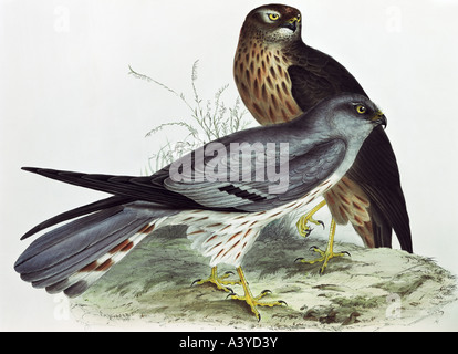 zoology / animal, avian / bird, accipitridae, swamp harrier, (circus approximans), colour lithograph, by John Gould - Stock Photo