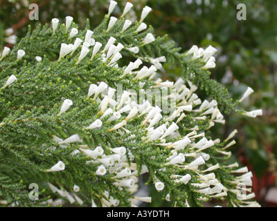 Pichi, Fabiana (Fabiana imbricata), blooming - Stock Photo