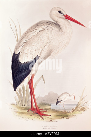 zoology / animal, avian / bird, ciconiidae, white stork, (ciconia ciconia), colour lithograph, by Edward Lear, from - Stock Photo