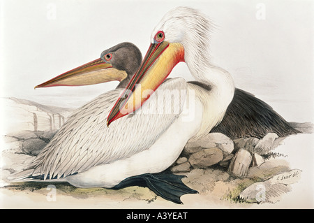 zoology / animal, avian / bird, pelecanidae, dalmatian pelican, (pelecanus crispus), colour lithograph, by Edward - Stock Photo