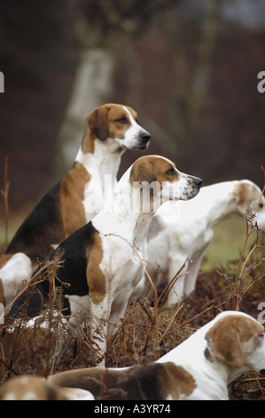 Hounds wait for the start of a fox hunt in West Sussex, UK - Stock Photo