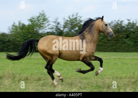 Lusitano horse stallion galloping in the paddock - Stock Photo