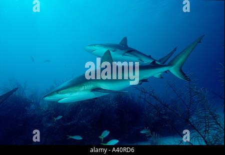 Karibische Riffhaie Caribbean reef shark Carcharhinus perezi - Stock Photo