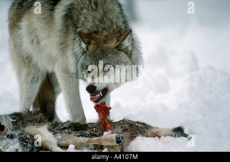Wolf Canis lupus snarling to defend a road kill mule deer from another wolf USA - Stock Photo