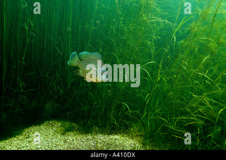 Pumpkinseed underwater in the St. Lawrence River in Canada - Stock Photo