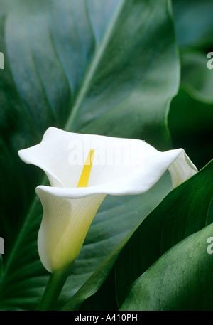 Arum lily or lily of the Nile Zantedeschia aethiopica Crowborough - Stock Photo