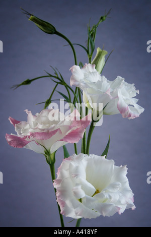Formal Arrangement of Three Pink Edged White Lisianthus Flowers - Stock Photo
