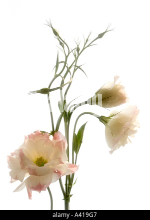 Stem of a Lisianthus Flower; Pale Pink Edged White Petals - Formal Studio Shot - High Key Against White Background - Stock Photo