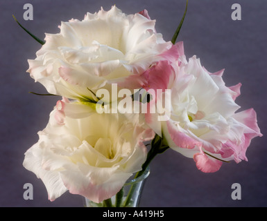 Three Lisianthus Flowers in a Glass Vase - Close-up - White Petals With Pink Edging - Stock Photo