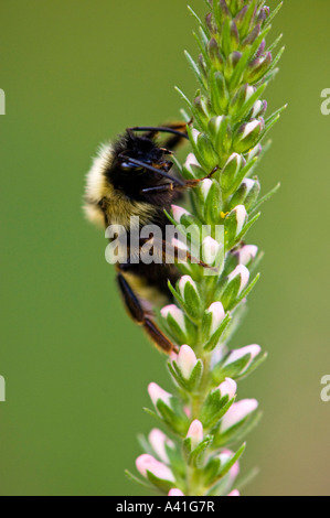 Bumblebee (Bombus sp) Foraging on Spiked Speedwell flowers in garden Ontario - Stock Photo