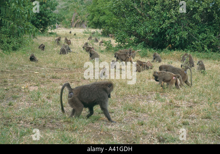 Huge troop of Olive Baboons in grass on ground in Lake Manyara National Park Tanzania East Africa - Stock Photo