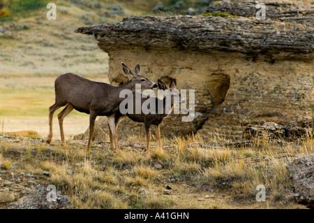 Mule deer (Odocoileus hemionus) doe and fawn in hoodoo landscape Writing on Stone Provincial Park,  Alberta, Canada - Stock Photo