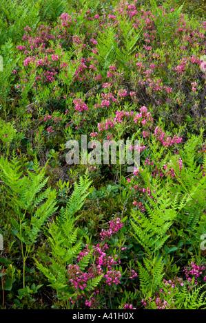 Sheep laurel (Kalmia angustifolia) Flowering among colony of bracken fern (Pteridium aquilinum), Greater Sudbury, - Stock Photo