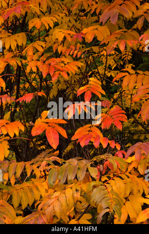 Western mountain ash leaves (Sorbus scopulina) in fall colour Yoho National Park, British Columbia, Canada - Stock Photo