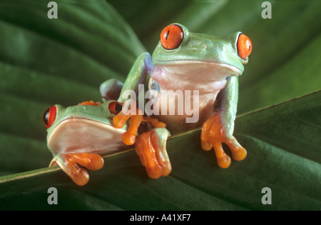 Red eyed tree frogs - Stock Photo