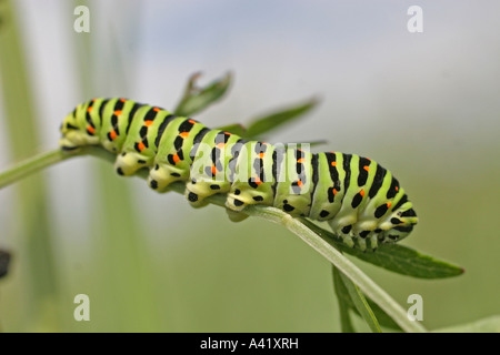 SWALLOWTAIL PAPILIO MACHAON CATERPILLAR FEEDING ON MILK PARSLEY SV - Stock Photo
