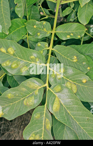 WALNUT LEAF GALL ERIOPHYES TRISTRIATUS ON LEAF CAUSED BY MITE - Stock Photo