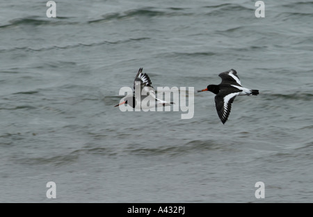 A pair of Oystercatchers Haematopus ostralegus flying over a stormy sea - Stock Photo