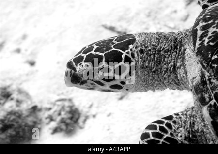 A Hawksbill Turtle searches the coral reef for food. - Stock Photo