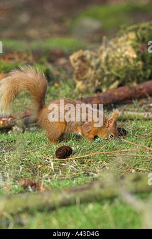 Red squirrel, Sciurus vulgaris burying food, in the Cairngorms National Park, Aberdeenshire. - Stock Photo