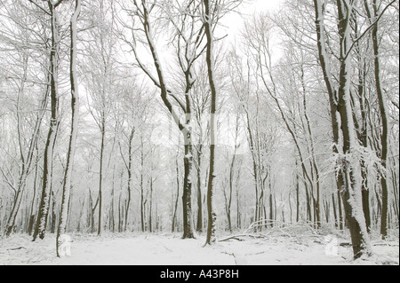 Snow scene showing hundreds beech trees with their trunks covered in fresh white snow