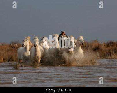 Guardians rounding up horses in the Camargue Provence France April - Stock Photo