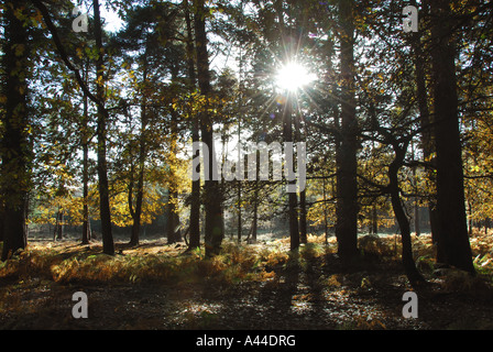 Autumn in the New Forest. Low sun shining through the trees near the Rhinefield Ornamental Drive - Stock Photo