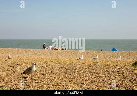 Family of seagulls with a human family in the background on Aldeburgh beach in Suffolk England shot September 2006 - Stock Photo