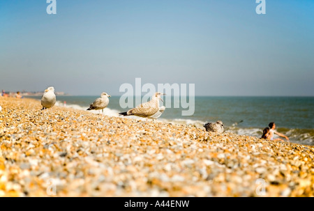 Seagulls on Aldeburgh beach in England shot in September 2006 - Stock Photo