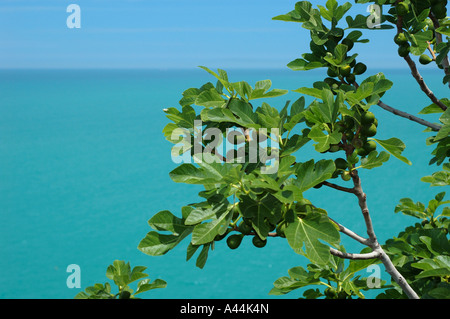 Unripe figs growing on the shore of Mediterranean Sea - Italy. - Stock Photo