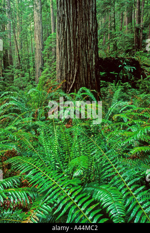 Old growth Redwood Forest Sequoia sempervirens Prarie Creek Redwoods State Park California USA