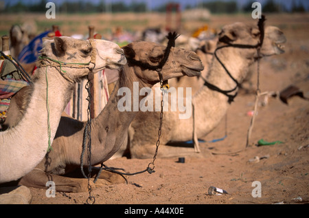 Three Bedouin camels sit on the desert sand harnessed by their halters appearing calm at Dahab Lagoon Sinai Egypt - Stock Photo