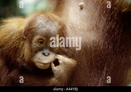 A close up of the cute baby Orangutan sitting by his mother. In the forests of Sumatra, Indonesia - Stock Photo