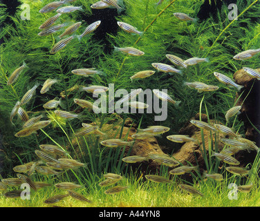 Long Finned Zebra Danio Danio brachydanio rerio mangeant de jeunes art mias water aquarium freshwater pet hobby - Stock Photo